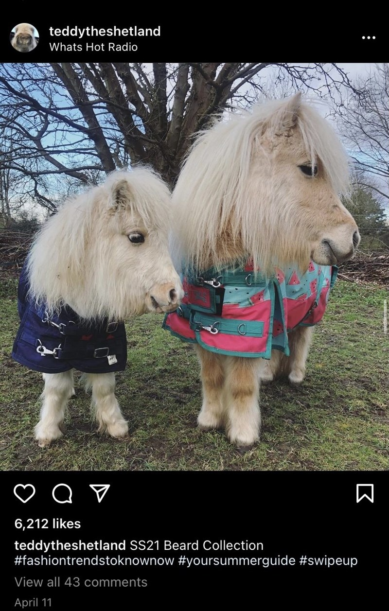 Dog - teddytheshetland Whats Hot Radio 6,212 likes teddytheshetland SS21 Beard Collection #fashiontrendstoknownow #yoursummerguide #swipeup View all 43 comments April 11