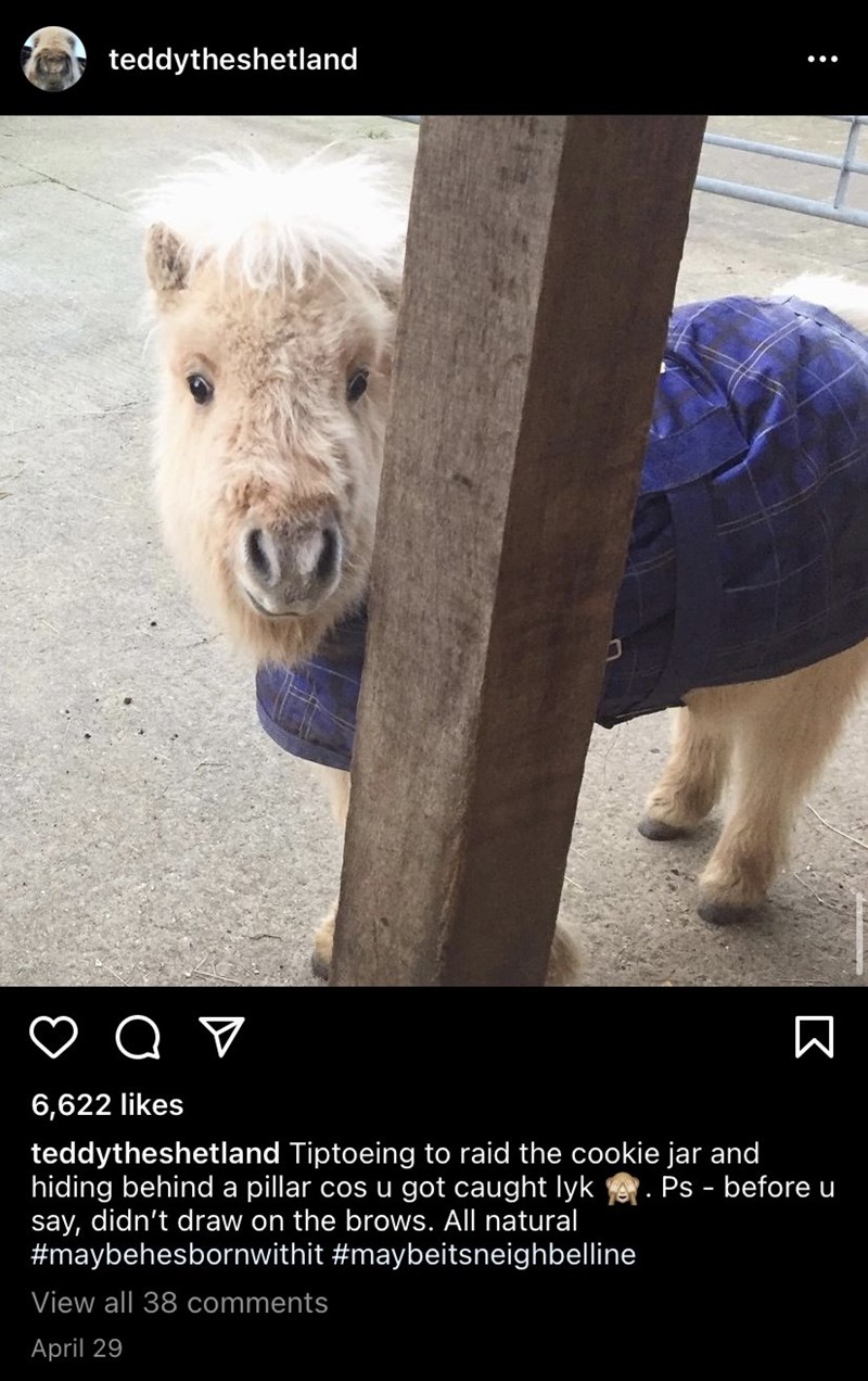 Vertebrate - teddytheshetland 6,622 likes teddytheshetland Tiptoeing to raid the cookie jar and hiding behind a pillar cos u got caught lyk say, didn't draw on the brows. All natural #maybehesbornwithit #maybeitsneighbelline Ps - before u View all 38 comments April 29