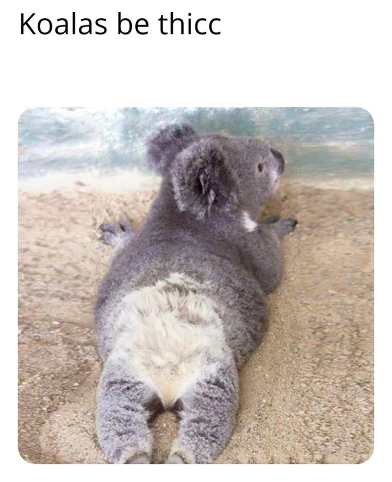 Koala - Koalas be thicc