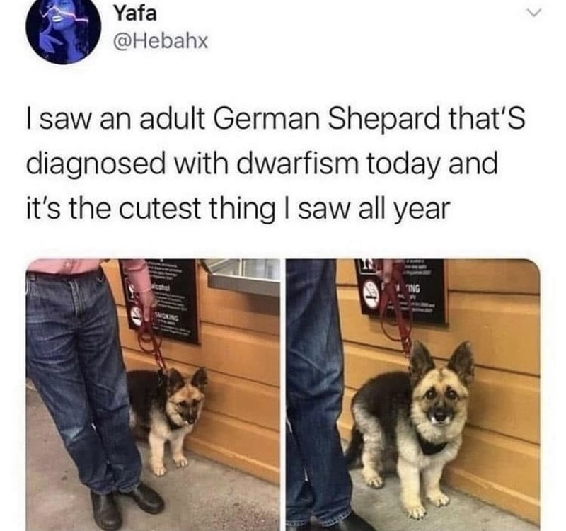 Dog - Yafa @Hebahx I saw an adult German Shepard that'S diagnosed with dwarfism today and it's the cutest thing I saw all year CI ING