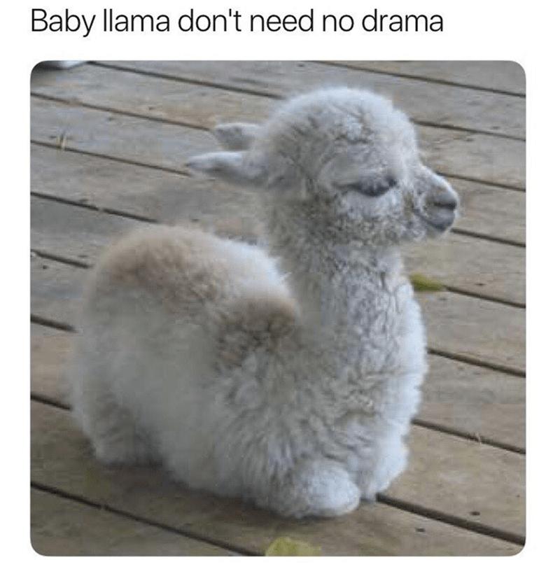 Fawn - Baby llama don't need no drama