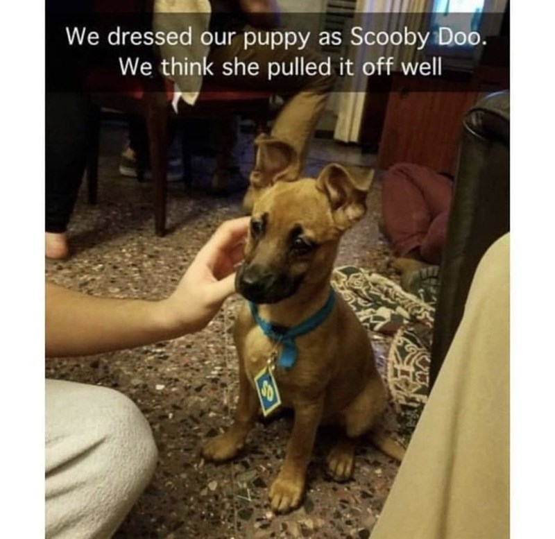 Dog - We dressed our puppy as Scooby Doo. We think she pulled it off wel