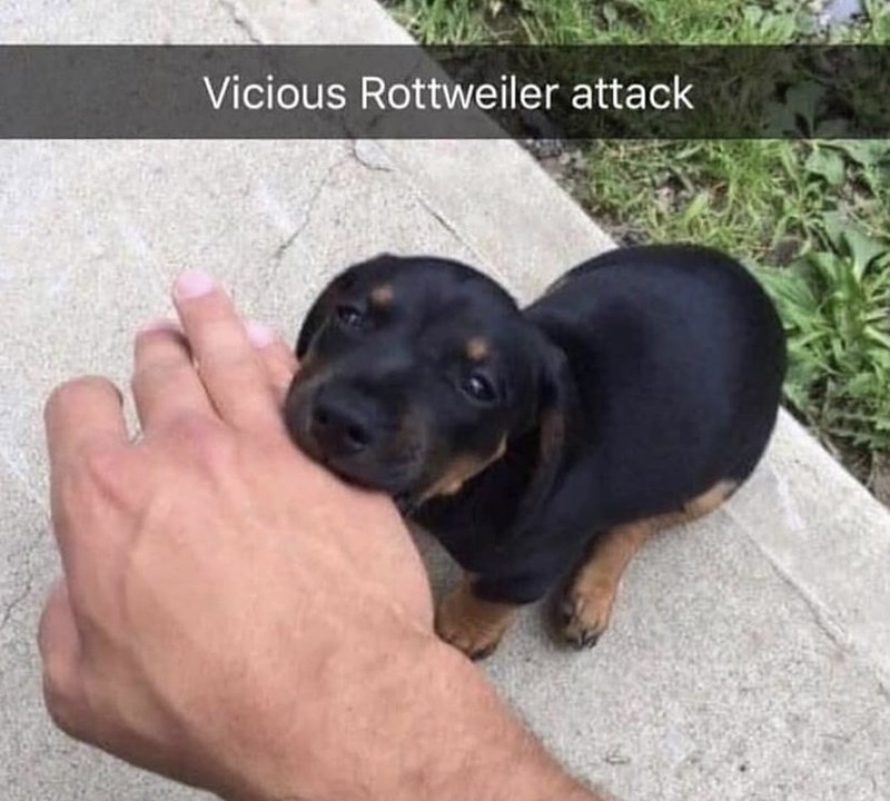 Dog - Vicious Rottweiler attack