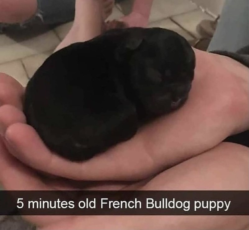 Dog - 5 minutes old French Bulldog puppy