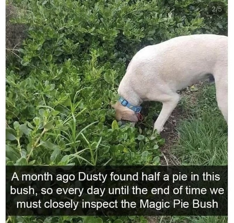 Dog - 2/5 A month ago Dusty found half a pie in this bush, so every day until the end of time we must closely inspect the Magic Pie Bush LO