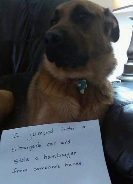 Dog - jumped into strangers car and Stole a hamburg er from someone's hands.