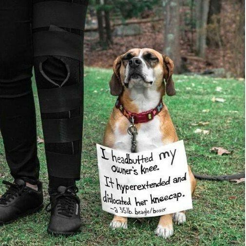 Dog - I headbutted my Owner's knee. Ithyperextended and dilocated her kneecap. a 3516. beagle/boxer