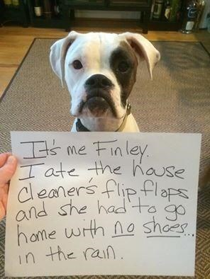 Dog - Finley Iate the hause cleaners flip flaps and she had'to home with no shoes. in the rain. I's me