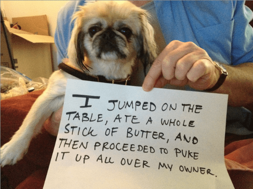 Dog - I JUMPED ON THE TABLE, ATE A WHOLE STICK OF BUTTER, AND THEN PROCEE DED TO PUKE IT UP ALL OVER MY OWNER.