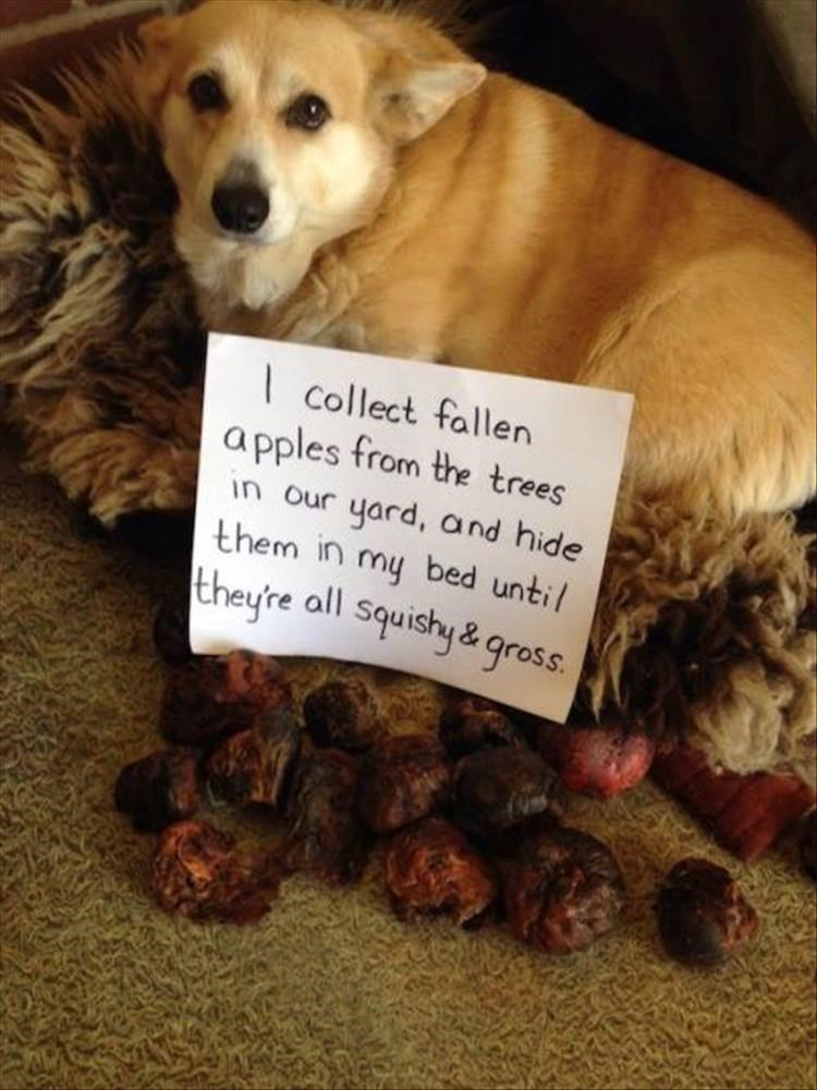 Dog -   collect fallen apples from the trees in our yard, and hide them in my bed until they're all squishy & gross.
