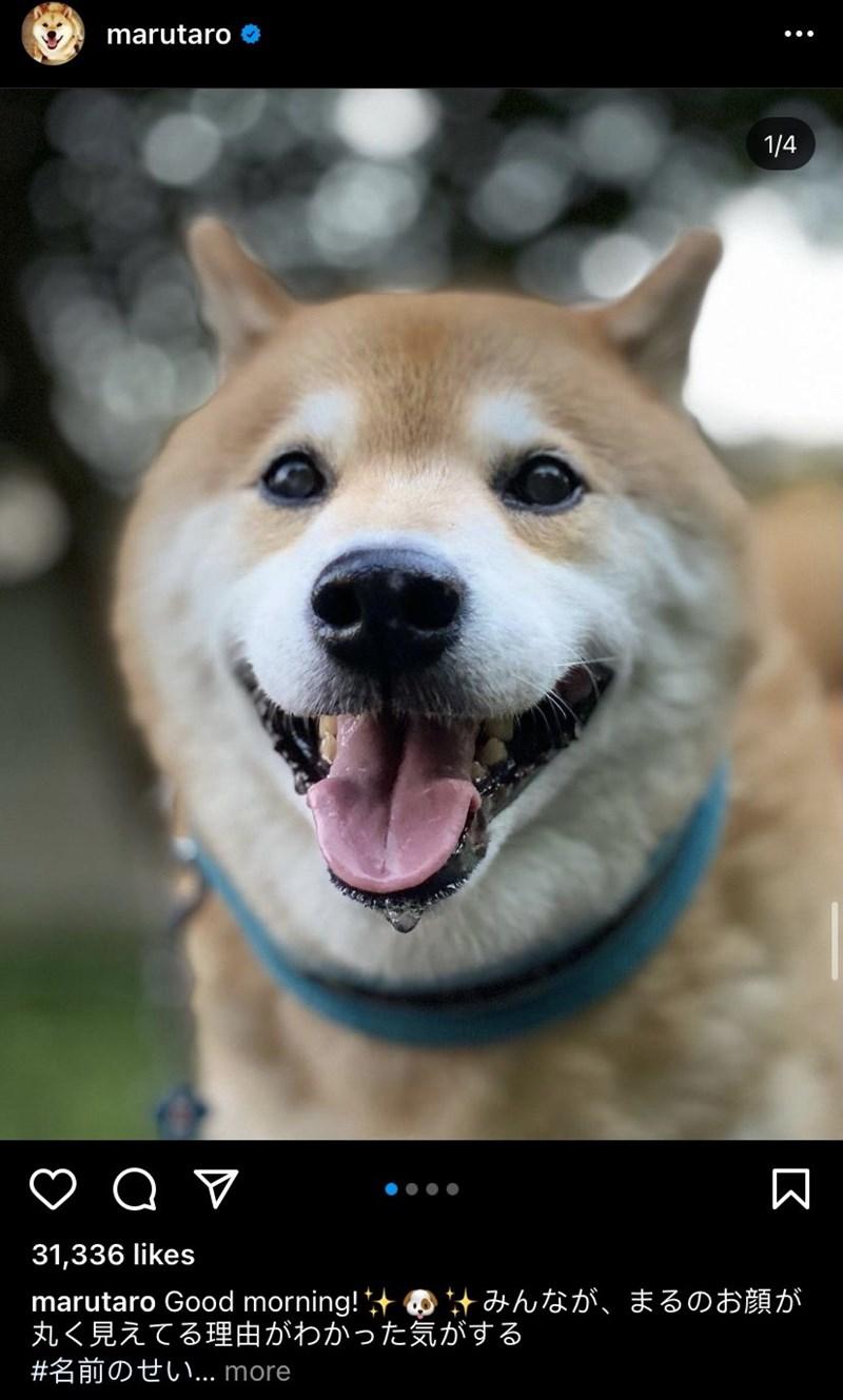 Dog - marutaro O 1/4 31,336 likes marutaro Good morning! の みんなが、まるのお顔が 丸く見えてる理由がわかった気がする #名前のせい.. more 区