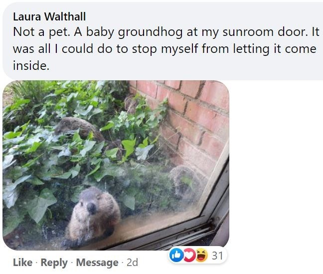 Vertebrate - Laura Walthall Not a pet. A baby groundhog at my sunroom door. It was all I could do to stop myself from letting it come inside. 31 Like · Reply Message 2d