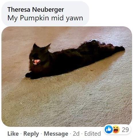 Cat - Theresa Neuberger My Pumpkin mid yawn 29 Like · Reply Message 2d Edited