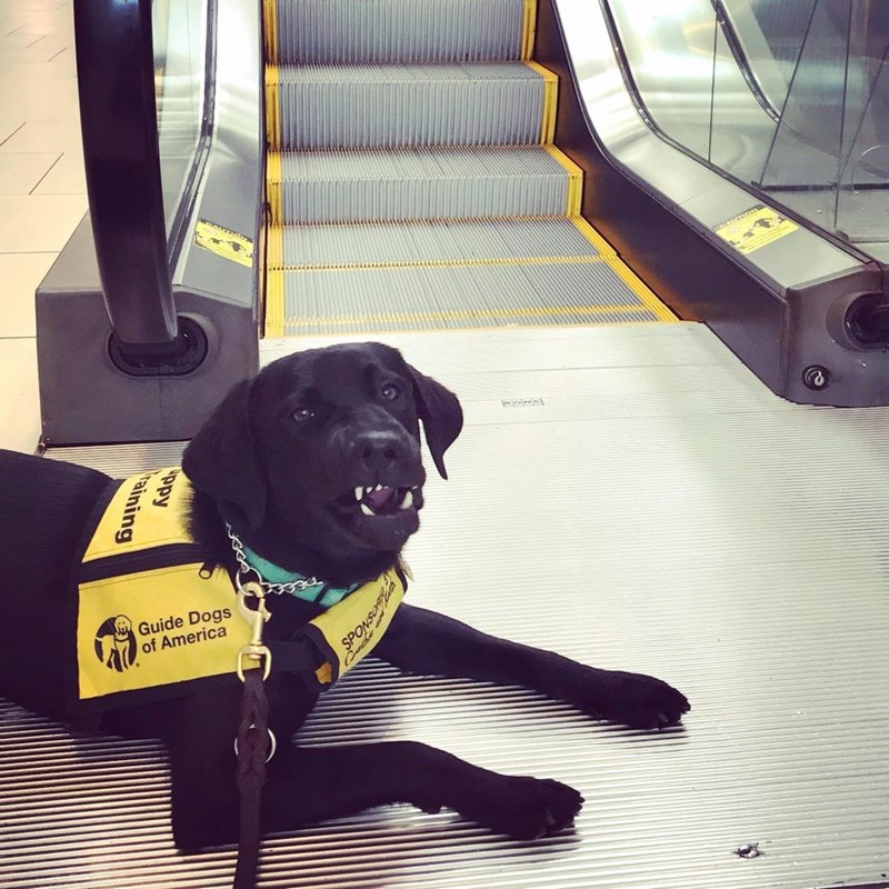 Dog - Guide Dogs of America ppy Taining