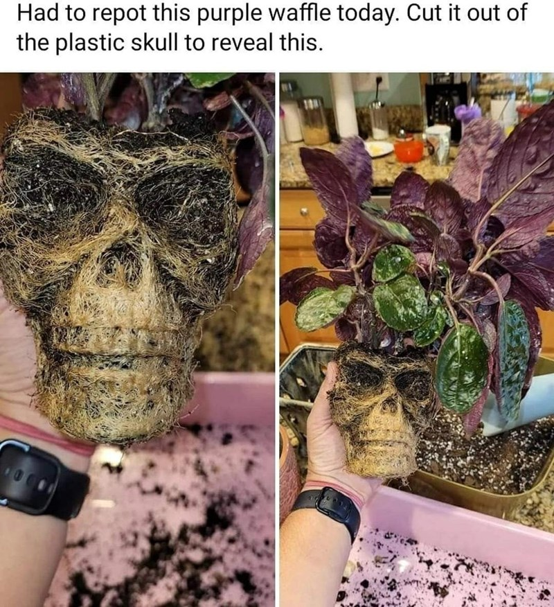 Plant - Had to repot this purple waffle today. Cut it out of the plastic skull to reveal this.