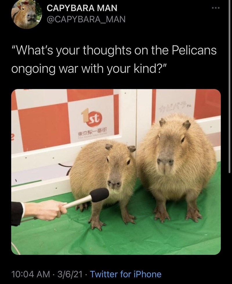 """Vertebrate - CAPYBARA MAN ... @CAPYBARA_MAN """"What's your thoughts on the Pelicans ongoing war with your kind?"""" st 東京駅一番街 10:04 AM · 3/6/21 · Twitter for iPhone"""