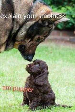 Dog - explain your smolness am pupper