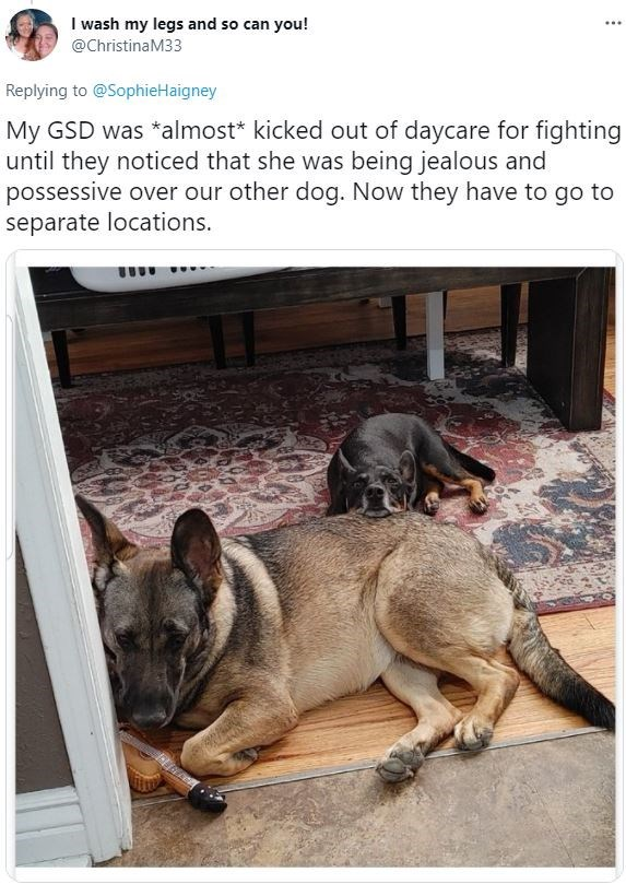 Dog - I wash my legs and so can you! @ChristinaM33 Replying to @SophieHaigney My GSD was *almost* kicked out of daycare for fighting until they noticed that she was being jealous and possessive over our other dog. Now they have to go to separate locations.