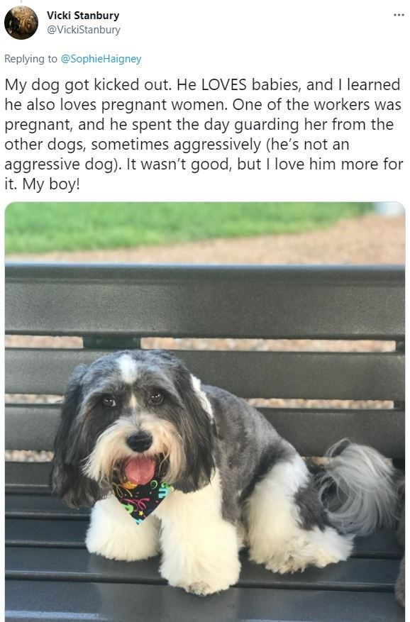 Dog - Vicki Stanbury @VickiStanbury Replying to @SophieHaigney My dog got kicked out. He LOVES babies, and I learned he also loves pregnant women. One of the workers was pregnant, and he spent the day guarding her from the other dogs, sometimes aggressively (he's not an aggressive dog). It wasn't good, but I love him more for it. My boy!