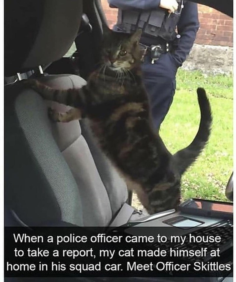 Cat - When a police officer came to my house to take a report, my cat made himself at home in his squad car. Meet Officer Skittles