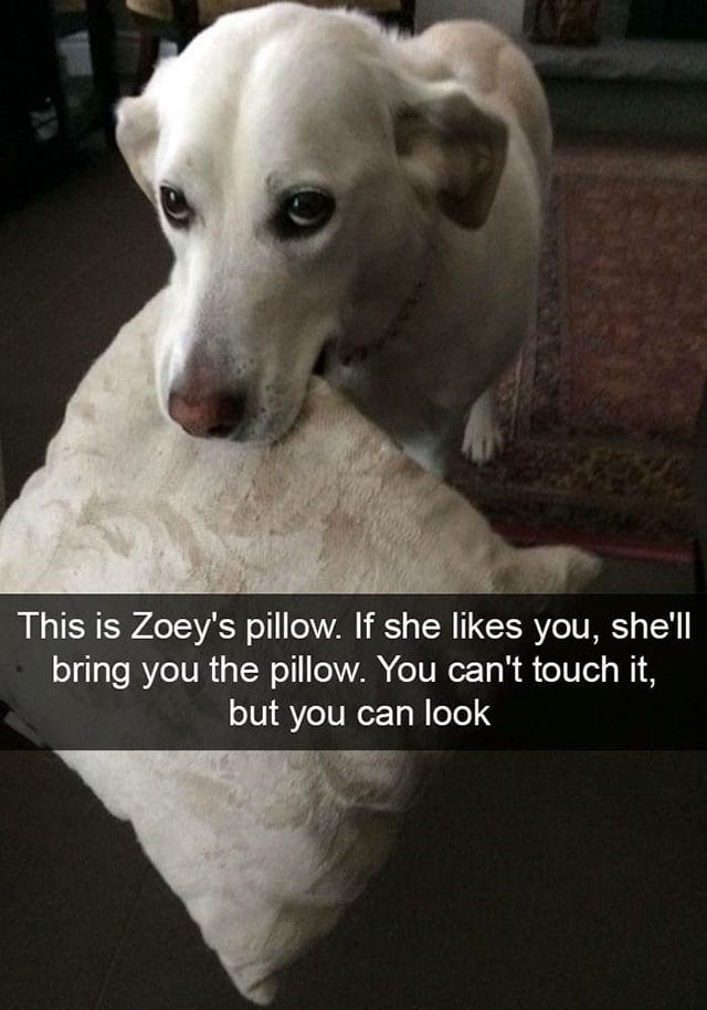 Dog - This is Zoey's pillow. If she likes you, she'll bring you the pillow. You can't touch it, but you can look