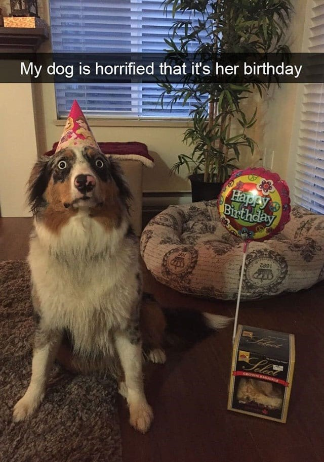 Dog - My dog is horrified that it's her birthday Happy Birthday 1682 CHOWN KHUCKLE