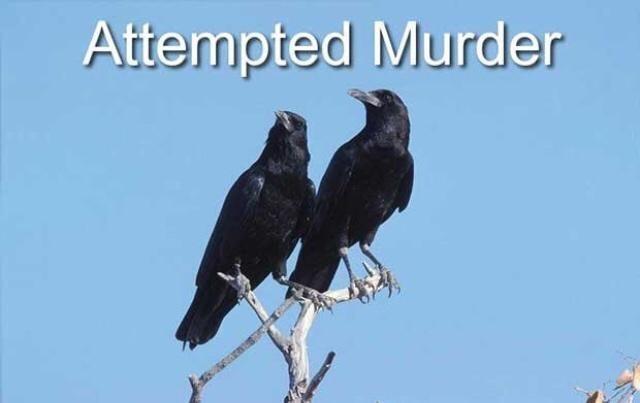 Bird - Attempted Murder
