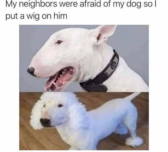 Dog - My neighbors were afraid of my dog so I put a wig on him