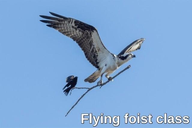 Bird - Flying foist class