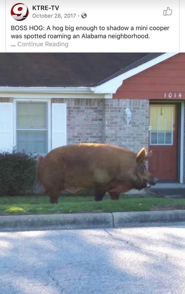 Window - KTRE-TV October 28, 2017 · O BOSS HOG: A hog big enough to shadow a mini cooper was spotted roaming an Alabama neighborhood. ... Continue Reading 1014