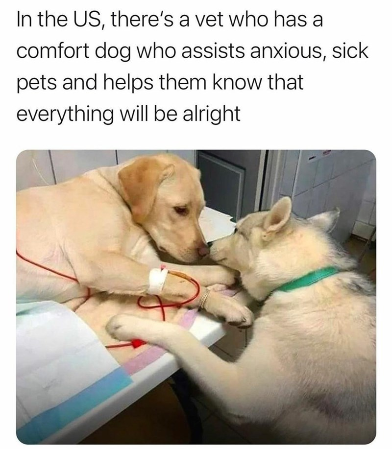 Dog - In the US, there's a vet who has a comfort dog who assists anxious, sick pets and helps them know that everything will be alright