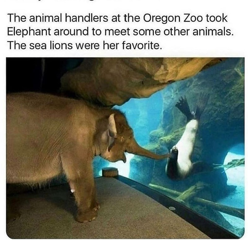 Organism - The animal handlers at the Oregon Zoo took Elephant around to meet some other animals. The sea lions were her favorite.