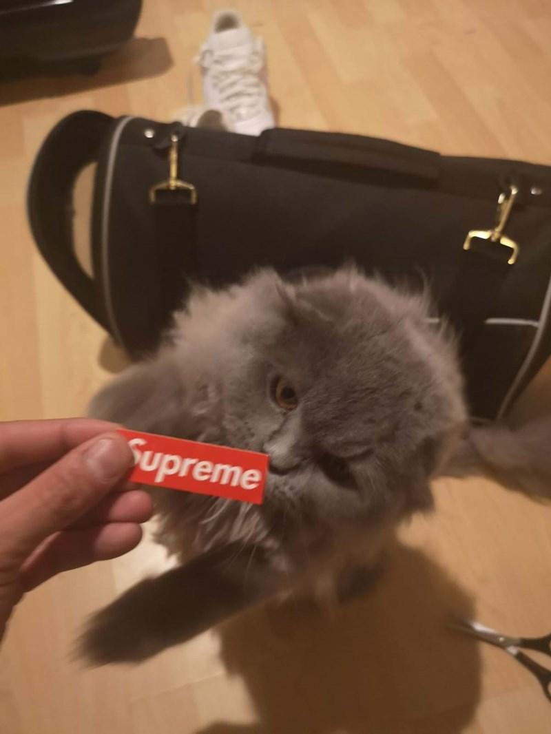 Cat - Supreme