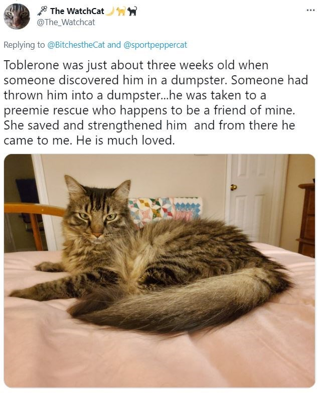 Cat - The WatchCat 91 @The_Watchcat Replying to @BitchestheCat and @sportpeppercat Toblerone was just about three weeks old when someone discovered him in a dumpster. Someone had thrown him into a dumpster...he was taken to a preemie rescue who happens to be a friend of mine. She saved and strengthened him and from there he came to me. He is much loved.