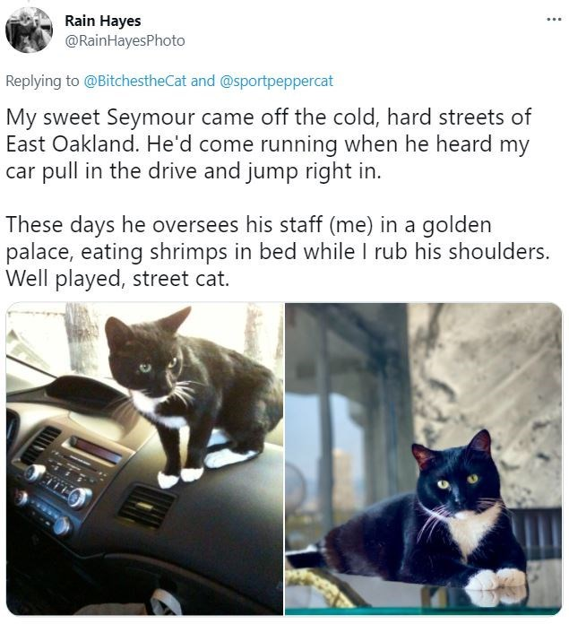 Cat - Rain Hayes @RainHayesPhoto ... Replying to @BitchestheCat and @sportpeppercat My sweet Seymour came off the cold, hard streets of East Oakland. He'd come running when he heard my car pull in the drive and jump right in. These days he oversees his staff (me) in a golden palace, eating shrimps in bed while I rub his shoulders. Well played, street cat.