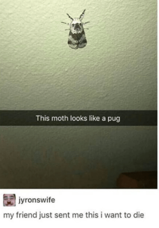 Insect - This moth looks like a pug jyronswife my friend just sent me this i want to die