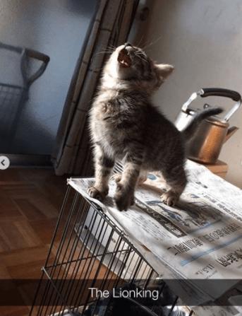 Cat - The Lionking