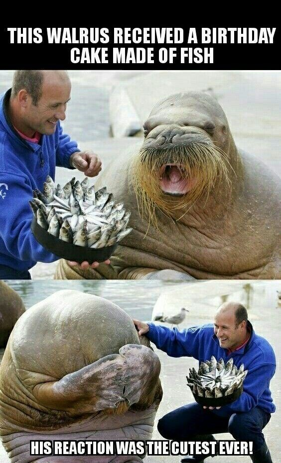 Photograph - THIS WALRUS RECEIVED A BIRTHDAY CAKE MADE OF FISH HIS REACTION WAS THE CUTEST EVER!