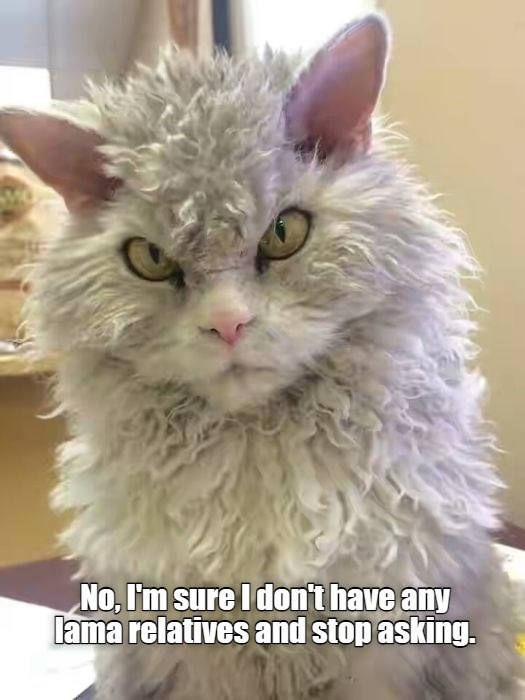 Cat - No, I'm sure I don't have any lama relatives and stop asking.