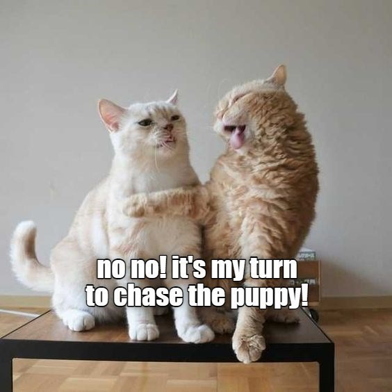 Cat - no no! it's my turn to chase the puppy!