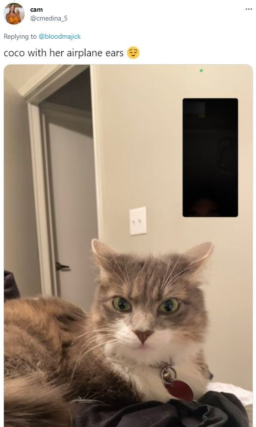 Cat - cam ... @cmedina_5 Replying to @bloodmajick coco with her airplane ears 9