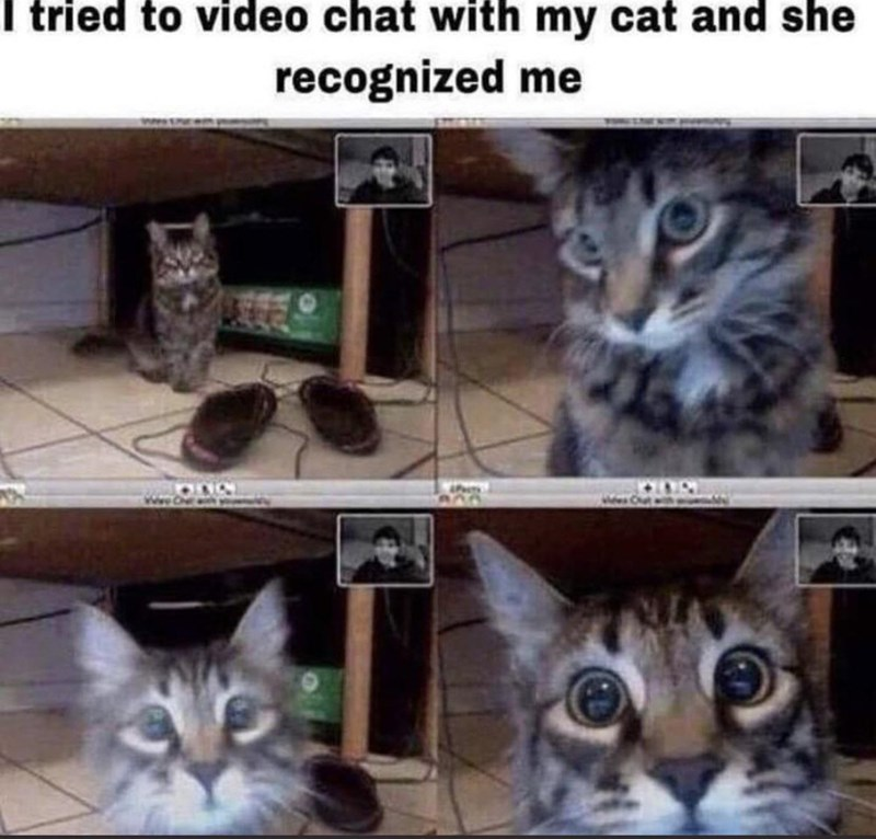 Cat - I tried to video chat with my cat and she recognized me 800