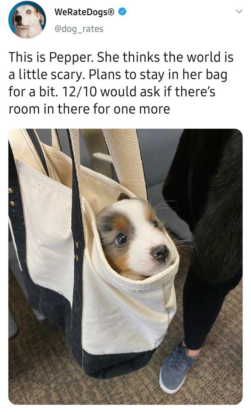 Dog - WeRateDogs® @dog_rates This is Pepper. She thinks the world is a little scary. Plans to stay in her bag for a bit. 12/10 would ask if there's room in there for one more <>
