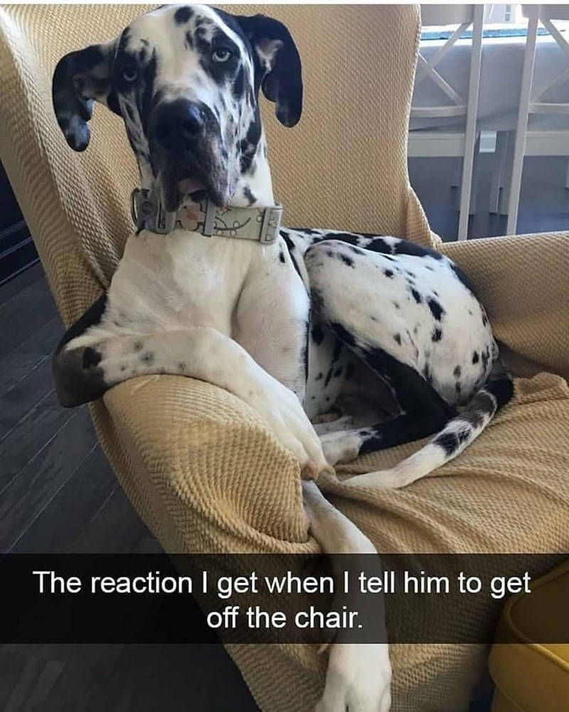 Dog - The reaction I get when I tell him to get off the chair.