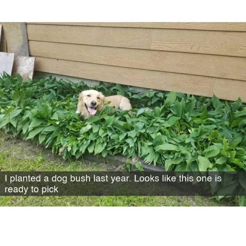 Plant - I planted a dog bush last year. Looks like this one is ready to pick
