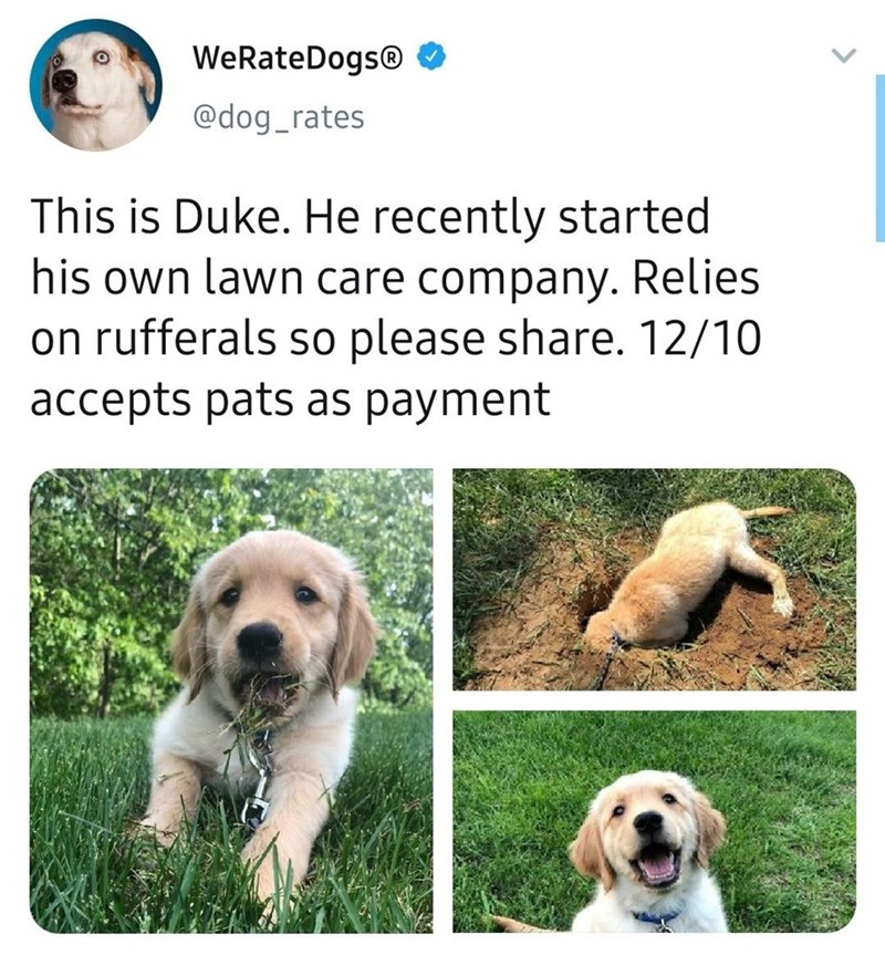 Dog - WeRateDogs® O @dog_rates This is Duke. He recently started his own lawn care company. Relies on rufferals so please share. 12/10 accepts pats as payment