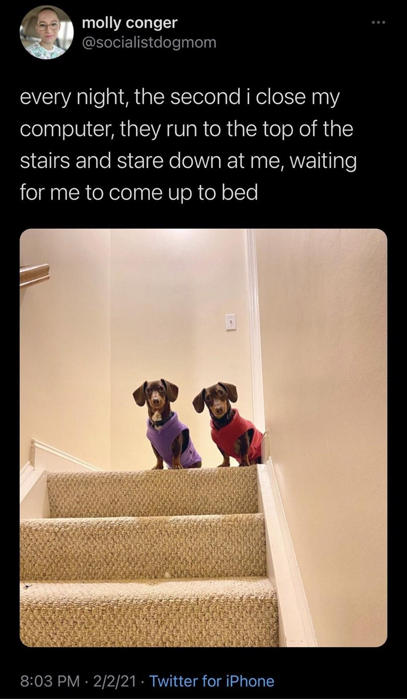 Dog - molly conger @socialistdogmom every night, the second i close my computer, they run to the top of the stairs and stare down at me, waiting for me to come up to bed 8:03 PM · 2/2/21 · Twitter for iPhone