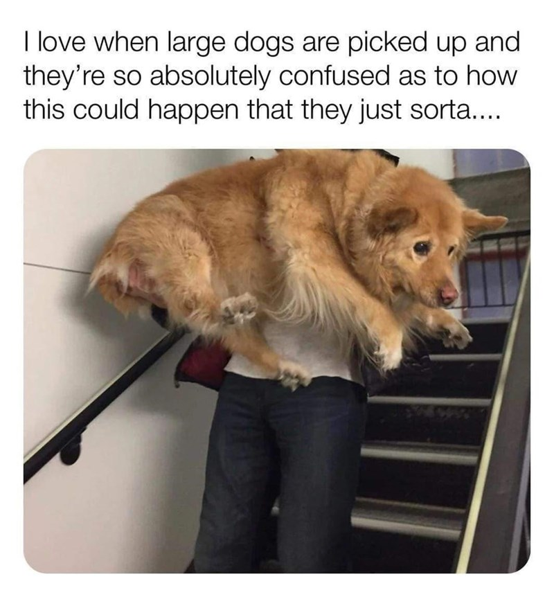 Dog - I love when large dogs are picked up and they're so absolutely confused as to how this could happen that they just sorta...