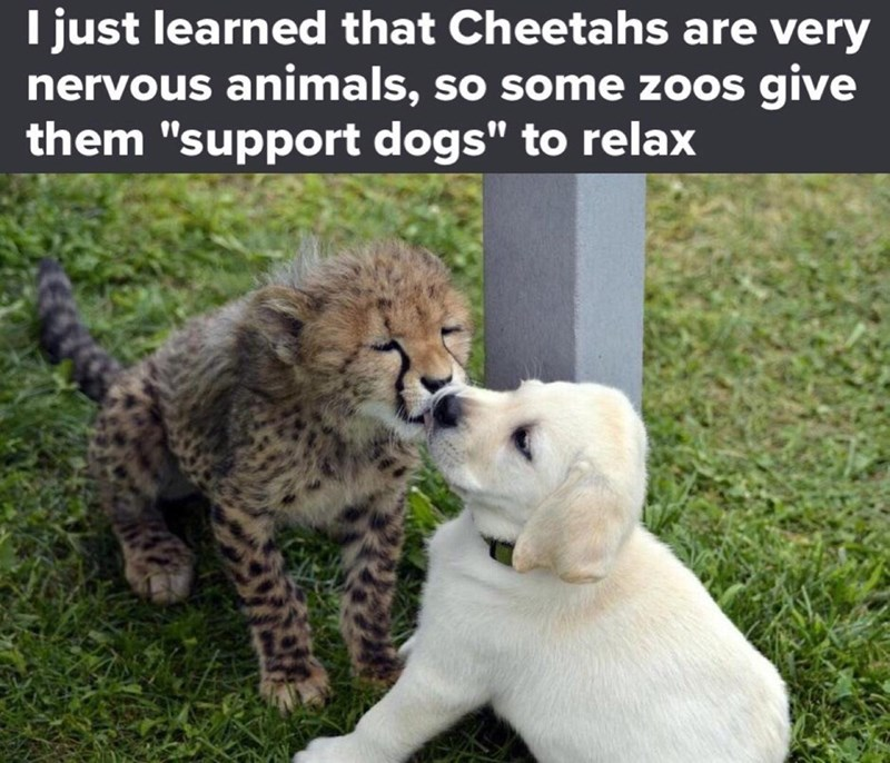 """Vertebrate - I just learned that Cheetahs are very nervous animals, so some zoos give them """"support dogs"""" to relax"""