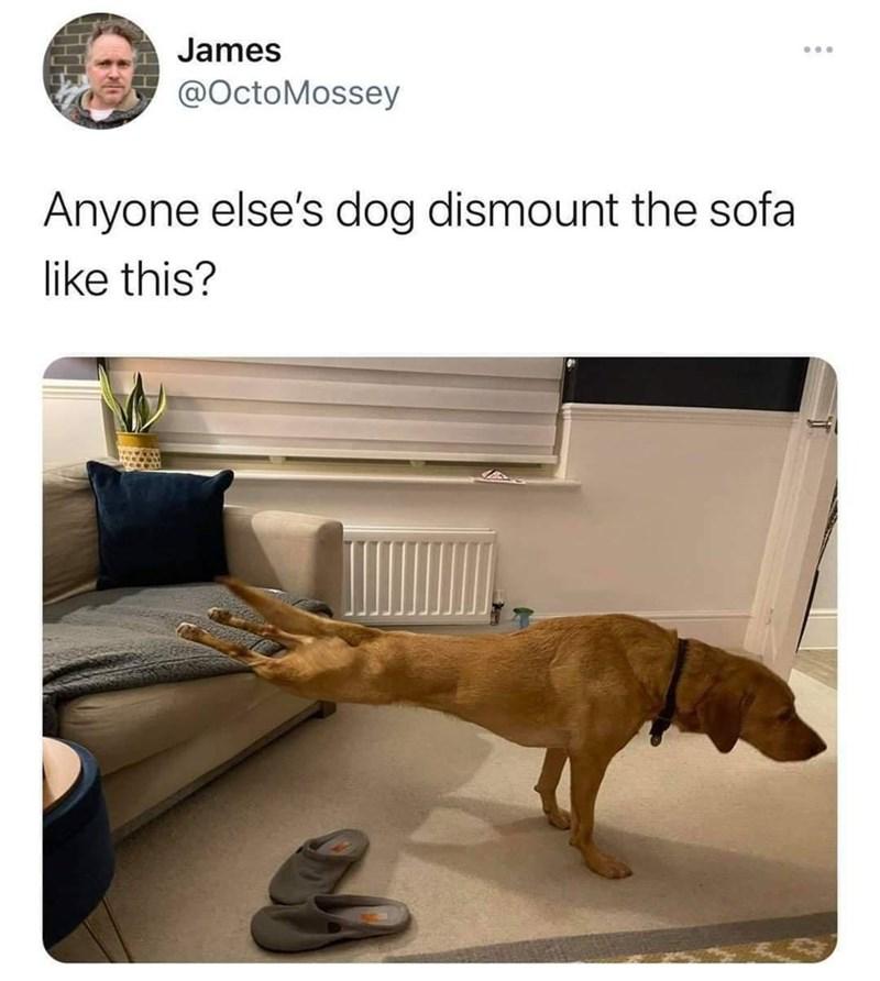 Dog - James ... @OctoMossey Anyone else's dog dismount the sofa like this?